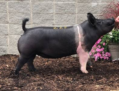 Grand Champ Gilt 2018 Wash Co Fair