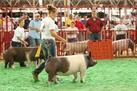 2016 Class Champion Crossbred Breeding Gilt