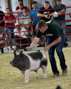 Reserve Grand Breeding Gilt Delaware Co Fair