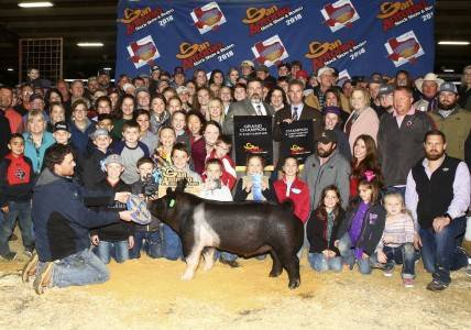 Grand Champion Overall Barrow 2018 San Antonio Stock Show