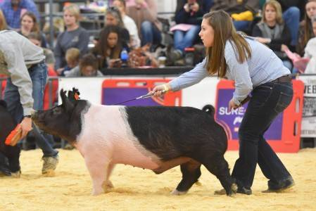 Grand Champion Hampshire Barrow 2018 National Western Stock Show