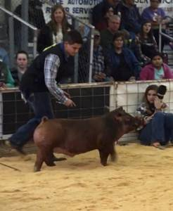 Champion Duroc Barrow 2018 Scurry County, TX
