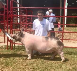 Grand Breeding Gilt Johnson Co