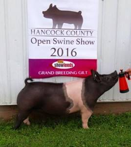 2016 Grand Champion Breeding Gilt, Hancock County Open Show